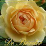 Engelse rozen