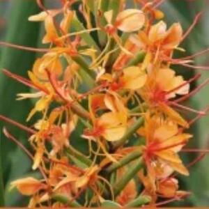 Hedychium